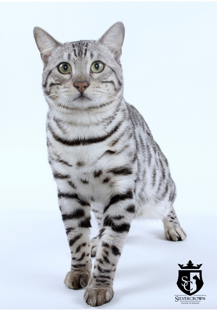 Chat bengal luther silvercrown