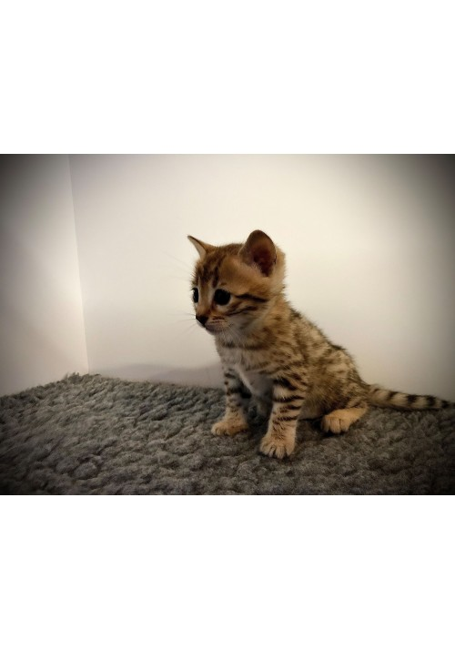 Silvercrown Chaton Brown
