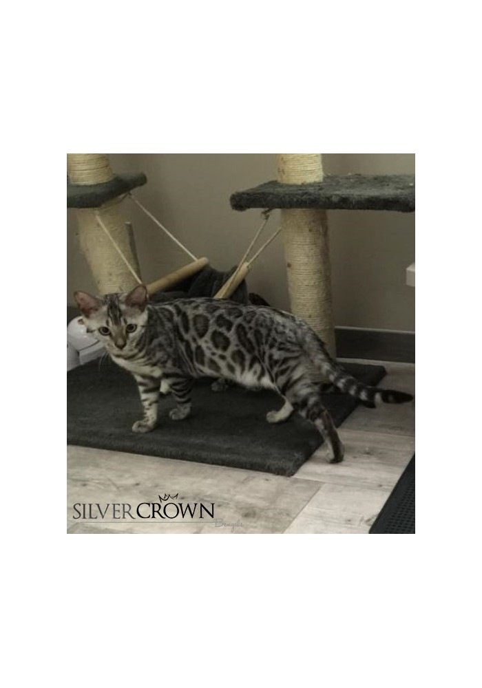 Chat Bengal Silver